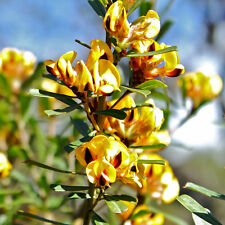 PULTENAEA villosa Hairy Bush Pea Seeds (N 22)