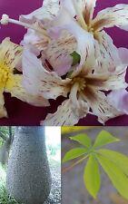 CHORISIA sin.CEIBA INSIGNIS 10 semi seeds Albero bottiglia Bottle tree