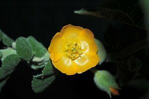 30 seeds | Sida cordifolia | Bala