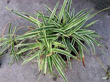 Variegated Spider Chlorophytum Comosum, Airplane hen-and-chicken Plant rooted