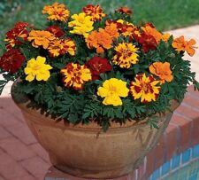Flower seeds - Marigold (French) Dwarf Double Mixed - Pack of 20 seed