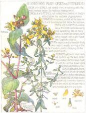 ST JOHN'S WORT. Hypericineae. Tutsan; Common, Marsh St.John's-Wort 1907 print