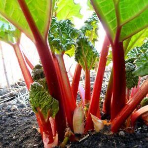 3x Rhubarb 'Victoria' Plants in 9cm Pots