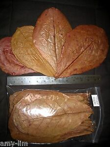 Amy's 90 LARGE Premium INDIAN ALMOND CATAPPA LEAVES betta, discus, shrimp, pleco
