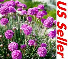 50 Pcs Seeds of Armeria Seeds - Maritima G57, Garden Perennial Flowers