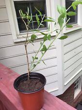 3Goji Berry Lyciumrootedbabytre es (For Edible Tree Leaves, not fruit)