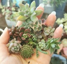 10 varities Tiny Baby Colorful Succulent Plant with roots Fairy Garden 1' Bonus