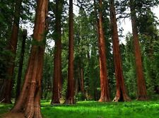 100 Giant Sequoia Redwood Tree Seeds Sequoiadendron Giganteum Bonsai - BKSeeds