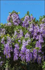 TEXAS MOUNTAIN LAUREL, CALIA (SOPHORA) SECUNDIFLORA, FRAGRANT TREE, 25 SEEDS