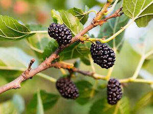 50+ Black Mulberry Tree Seeds | Sweet Edible Fruit, USA Seller - Free Shipping