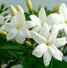 Jasmine sambac very fragrant flowers hedging plant in 140mm pot