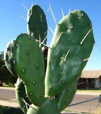 Prickly Pear Cactus pad Cutting - Opuntia elata