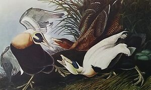 Eider Duck Print