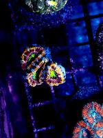 WYSIWYG Live Coral Frag - Purple Haze Acan Lord