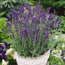 2000 Vera Lavender Herb Seeds - Everwilde Farms Mylar Seed Packet