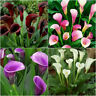 2Pcs Colorful Calla Lily Bulbs Flower Roots Rare Plants Flower Corm Garden B6I5