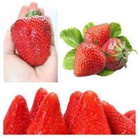 ** Erdbeere * Riesen *, Grösste Fruit, Immertragende 40 Seeds 2018