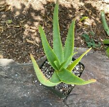 Beautiful A+ Rare Aloe Richaudii Nice Beautiful Capitate Flowering Aloe Big