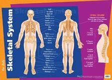 Human Body Chart - Skeletal Anatomy Poster 74 x 50cm Great for Children