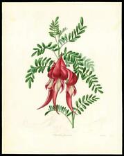 "1837 Original Antique HAND COLOURED Botanical Print ""CLIANTHUS PUNICEUS"" (84)"