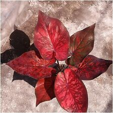 "1 Bulbs Caladium Plants, Queen of the Leafy ""Phetmolton"" Ornamental Plants Fresh"