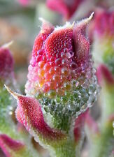 Mesembryanthemum Crystallinum 100 Semillas Seeds - Crystalline Ice COMESTIBLE