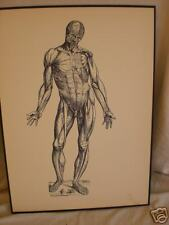 antique ANATOMICAL MEDICAL PRINT male human MUSCLES