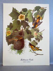 "VINTAGE ART PRINT Audubon Bird Print BALTIMORE ORIOLE Icterus Galbula. 9"" by 12"""