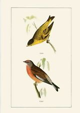 "GOLDFINCH/"" by WEBER GORGEOUS Lithograph 80 1960 Vintage /""INDIGO BUNTING SISKIN"
