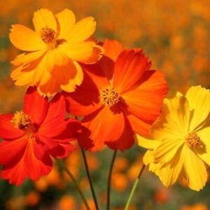 Cosmos sulphureus 'Bright Lights'/ Dwarf Mix of flowers all summer / 850 Seeds