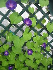 Ca. 100 Samen der Wicke (Kletterblume) bzw. himmelblaue Prunkwinde