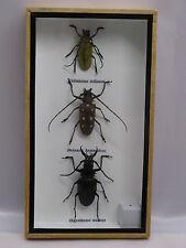 3D Box - 3x Le beau insectes - taxidermie - une beauté unique Naturalise - réel