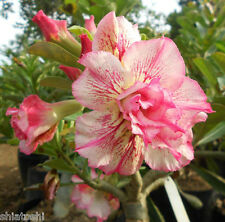 """ADENIUM DESERT ROSE, SSN-53 """"Country Rose """" 5.5 inch Grafted Plant"""