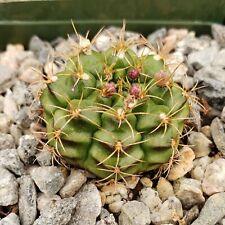 Britton /& Rose Gymnocalycium mihanovichii 3 inch