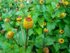 TOOTHACHE PLANT HERB SEEDS, Medicinal, For Numbing and Tinctures