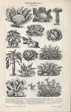 Lithografie 1907: Gemüsepflanzen I-III. Gemüse Pflanzen Blumenkohl Tomaten