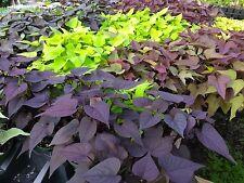 IPOMOEA SWEET POTATO VINE - MIX COLORS - 20 PLANTS  - STARTERS