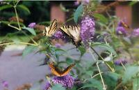 Postcard RPPC Butterflies