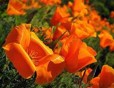 Kalifornischer Mohn 100 Samen Orange  Eschscholzia Californica