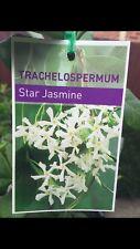 Tracheleospermum jasminoides (Star Jasmine) in 75mm tube fragrant climber