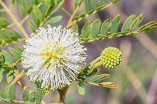 Süsse weisse Tupfen als Blüten, das hat nur die schöne Weisskopfmimose !