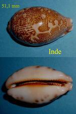 Cypraea   Mappa Alga  F. Geographica   Inde Tulicorin  Rare