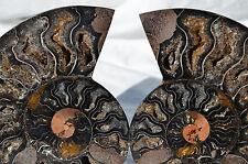 "RARE 1 in 100 BLACK PAIR Ammonite Crystal LARGE 155mm Dinosaur FOSSIL 6.1"" n2283"