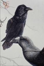 591000Common Raven A4 Photo Print