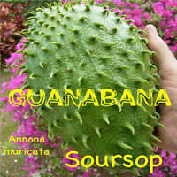 ~SOURSOP~ Annona muricata FRUIT TREE Guanabana FROM HAWAII 2-3+ft Potted Plant