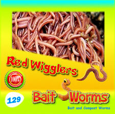 ***129 Red Wigglers *** These are Healthy Red Worms for Composting & Fishing Bai