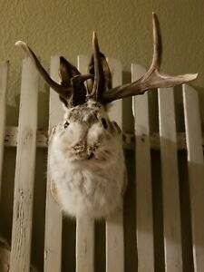 Non-Typical Montana Trophy Jackalope..a Rare find..