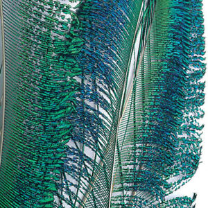 Peacock Sw ord Tails - Fly Tying Feathers