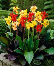 20Pcs Canna Indica Flower Seeds Many Colors Bonsai Perennial Beautiful Garden