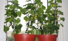 Cucumber Seeds Indoor F1 Vegetable seeds average from Ukraine. 12 SEEDS